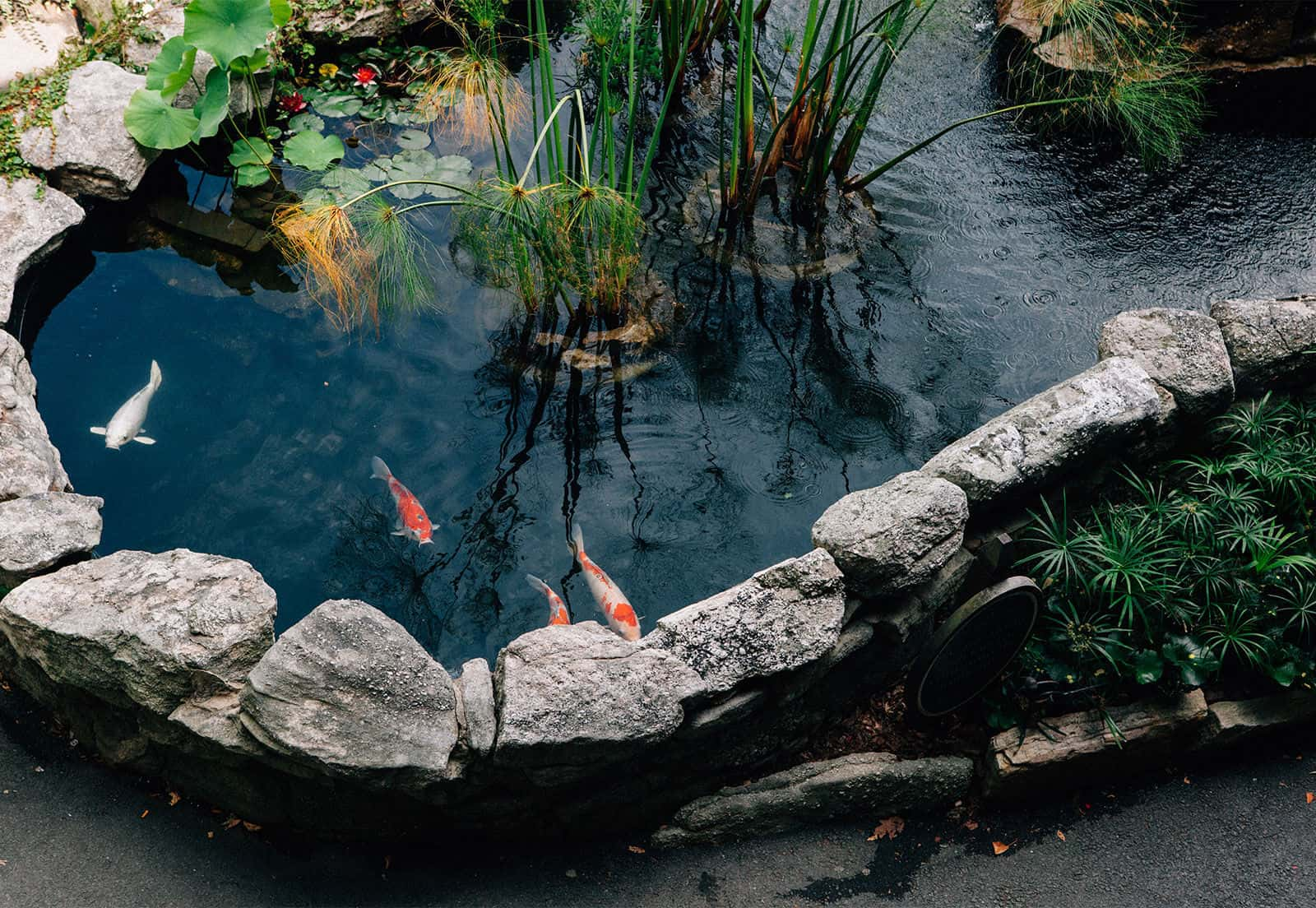 Pond and Koi Fish