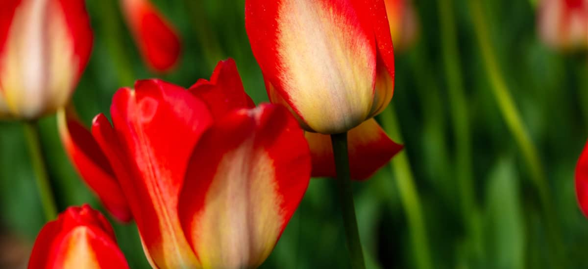 Tour of Tulips